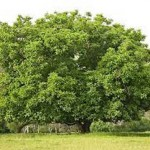 walnut tree-