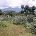 apple trees cutting-