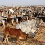 cattle fair-a