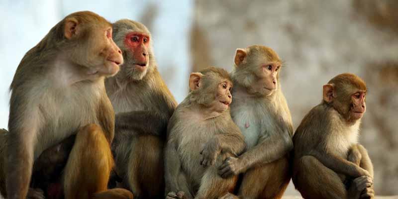 घोषणा तो हो गई, पर बंदर मारेगा कौन?