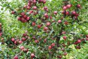 कोटगढ़ नहीं, कुल्लू से हुई थी सेब की शुरुआत