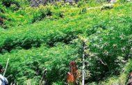 उत्तराखंड में भांग की खेती के लिए लाइसेंस