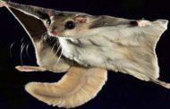 देवलसारी के जंगल में नजर आई उड़न गिलहरी