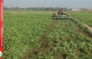 खेत में ही नष्ट करनी पड़ रही मटर की फसल