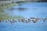 आसन वेटलैंड से प्रवासी पक्षियों की वतन वापसी