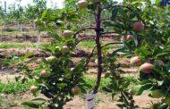 खेतीखान में फिर लौटेगी सेब की बहार