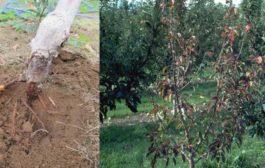 सेब के पौधों में रूटरॉट की पहचान कैसे करें?